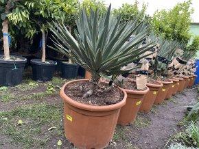 Yucca gloriosa, juka, původ Španělsko.110 cm