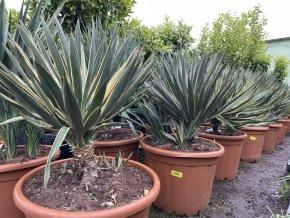 Yucca gloriosa variegata, juka, 100 cm