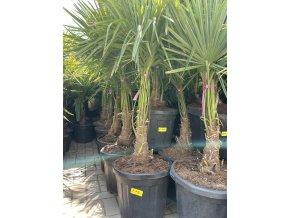 Trachycarpus fortunei, Konopná palma, mrazuvzdorná, kmen 30 cm+, 150-160 cm, dvojkmen.