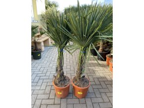 Trachycarpus fortunei, výška 160 cm