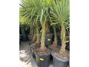 Trachycarpus fortunei, výška 140 cm, kmen 30 cm