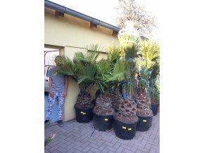 Jubaea chilensis, Chilská palma, původ palmy Španělsko. 160-180 cm