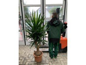 Yucca Elephantipes , juka, původ rostliny Španělsko. 130 cm
