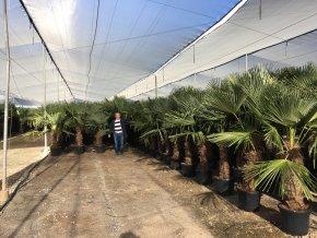 Trachycarpus fortunei, Konopná palma, mrazuvzdorná, původ palmy Španělsko. kmen 80 cm+, 180 cm
