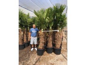 Trachycarpus fortunei, Konopná palma, mrazuvzdorná, kmen 70 cm+, 200 cm