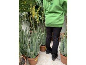 Aloe Vera, Aloe pravá, původ rostliny Španělsko.60 cm