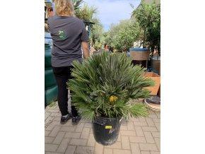 Chamaerops humilis vulcano , palma , původ palmy Španělsko. 140 cm