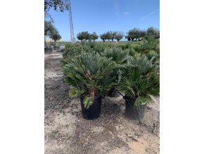 Chamaerops humilis vulcano , palma , původ palmy Španělsko. 110 cm