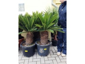 Cycas revoluta, Cykas revoluta 130 cm