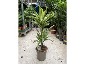 Dracaena Lemon Lime, dracena, původ rostliny Španělsko. 60 cm