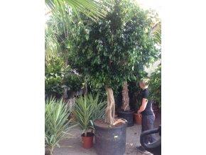 Ficus Benjamina , benjamín, původ rostliny Španělsko 350 cm