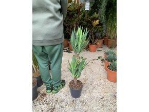 Yucca elegans 2 kmeny, juka, původ rostliny Španělsko. 100 cm