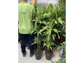 Dracaena Lemon Lime, dracena, původ rostliny Španělsko. 140 cm