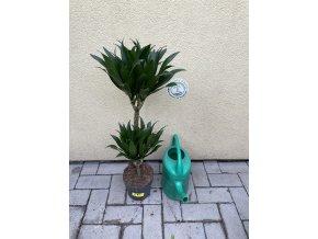 Dracaena compacta, dracena, původ palmy Španělsko 60 cm