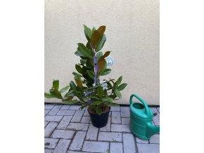 Magnolie grandiflora Gallissoniensis, původ rostliny Španělsko. 70 cm