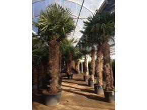 Trachycarpus fortunei, Konopná palma, mrazuvzdorná, původ palmy Španělsko. 280-330 cm