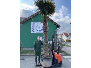 Trachycarpus fortunei, výška 350 cm, kmen 210 cm