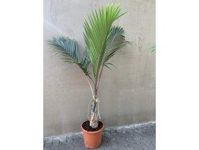 Hyophorbe Leganicaulis, lahvová palma, původ palmy Španělsko. 170 cm