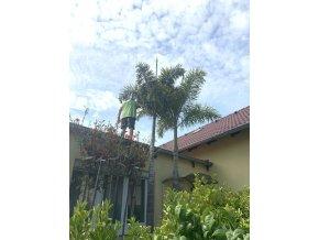 Wodyetia Bifurcata, palma, původ palmy Španělsko