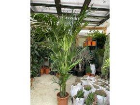 Howea Forsteriana , palma , původ palmy Španělsko.250-300 cm