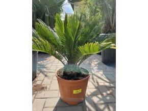 Cycas revoluta, Cykas revoluta, původ Španělsko 70-80 cm