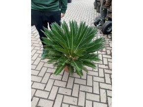 Cycas revoluta, Cykas revoluta, původ Španělsko 90 cm