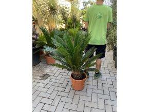 Cycas revoluta, Cykas revoluta, původ Španělsko. 100 cm