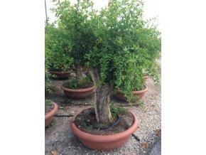 Punica granatum, granátové jablko bonsai
