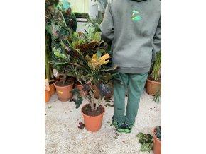 Codiaeum variegatum, kroton. 110 cm