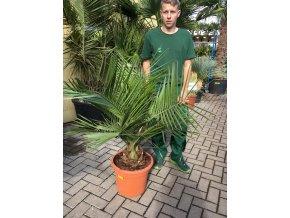 Jubaea chilensis, Chilská palma, původ palmy Španělsko. 120 cm