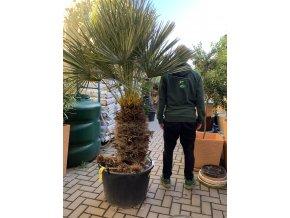 Chamaerops humilis var. Cerifera, Modrá trpasličí palma, Žumara, původ palmy Španělsko. 160+cm