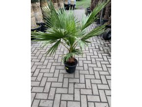Washingtonia robusta , palma , původ palmy Španělsko.160+ cm