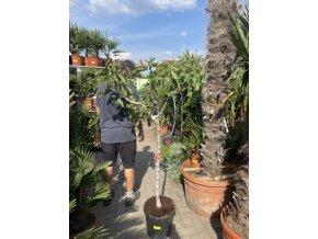 Ficus carica, fíkovník.