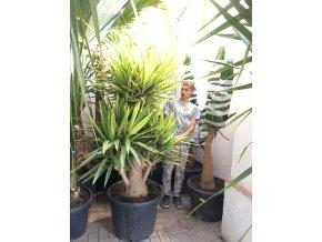 Yucca Elephantipes Jewel, juka, původ rostliny Španělsko. 170 cm