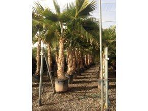 Pritchardia hillebrandii, palma, původ palmy Španělsko.