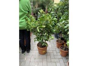 Limetka, původ rostliny Španělsko. 120 cm