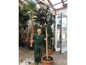Ficus elastica, původ rostliny Španělsko. 250 cm