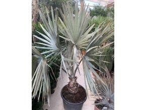 Bismarckia nobilis, Bismarckova palma. 180 cm