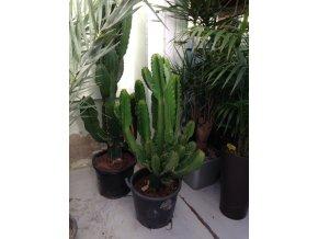 Euphorbia ingens 120-160 cm