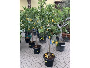 Citrus Limequat 160 cm