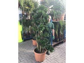 Dracaena Compacta, dracena, původ rostliny Španělsko. 190 cm