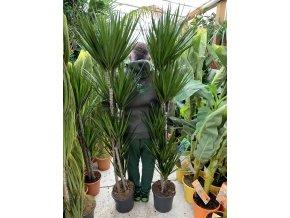 Dracaena marginata, dracena, původ rostliny Španělsko. 180 cm