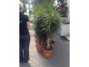 Dracaena marginata, dracena,kmen pomlázka, původ rostliny Španělsko. 150+ cm
