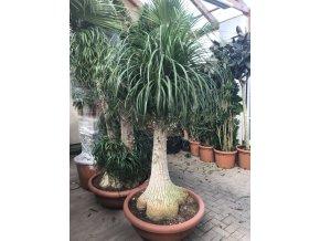 Beaucarnea guatemalensis, sloní noha, původ rostliny Španělsko, 180 cm