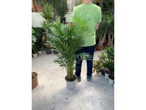 Areca lutescens, chrysalidocarpus, dypsis. 60-70 cm