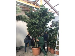 Dracaena Reflexa song of Jamaica 5m