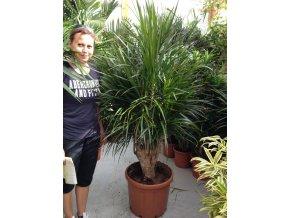 Dracaena marginata, dracena, původ rostliny Španělsko. 150+ cm