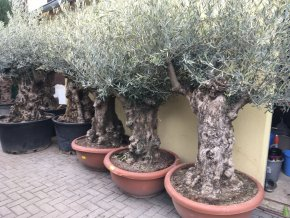 Olea europea - Olivovník. Výška 190 cm, obvod kmene 90 cm+