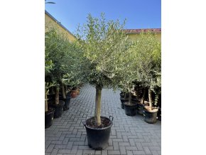 Olea europea , Olivovník. 180 cm