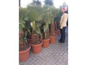 Chamaerops humilis vulcano, palma, původ palmy Španělsko 150 cm